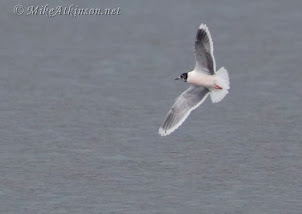 Little Gull (2013) by Mike Atkinson