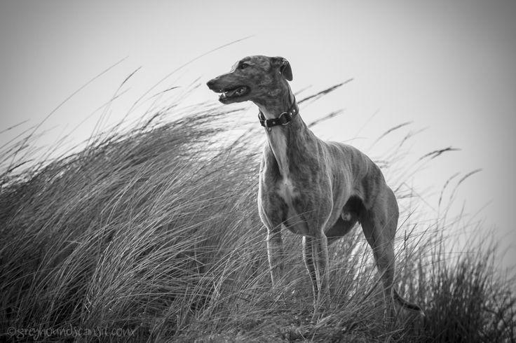 Galgo (Greyhounds can sit)