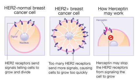 Hormone Therapy for Breast Cancer Fact Sheet -