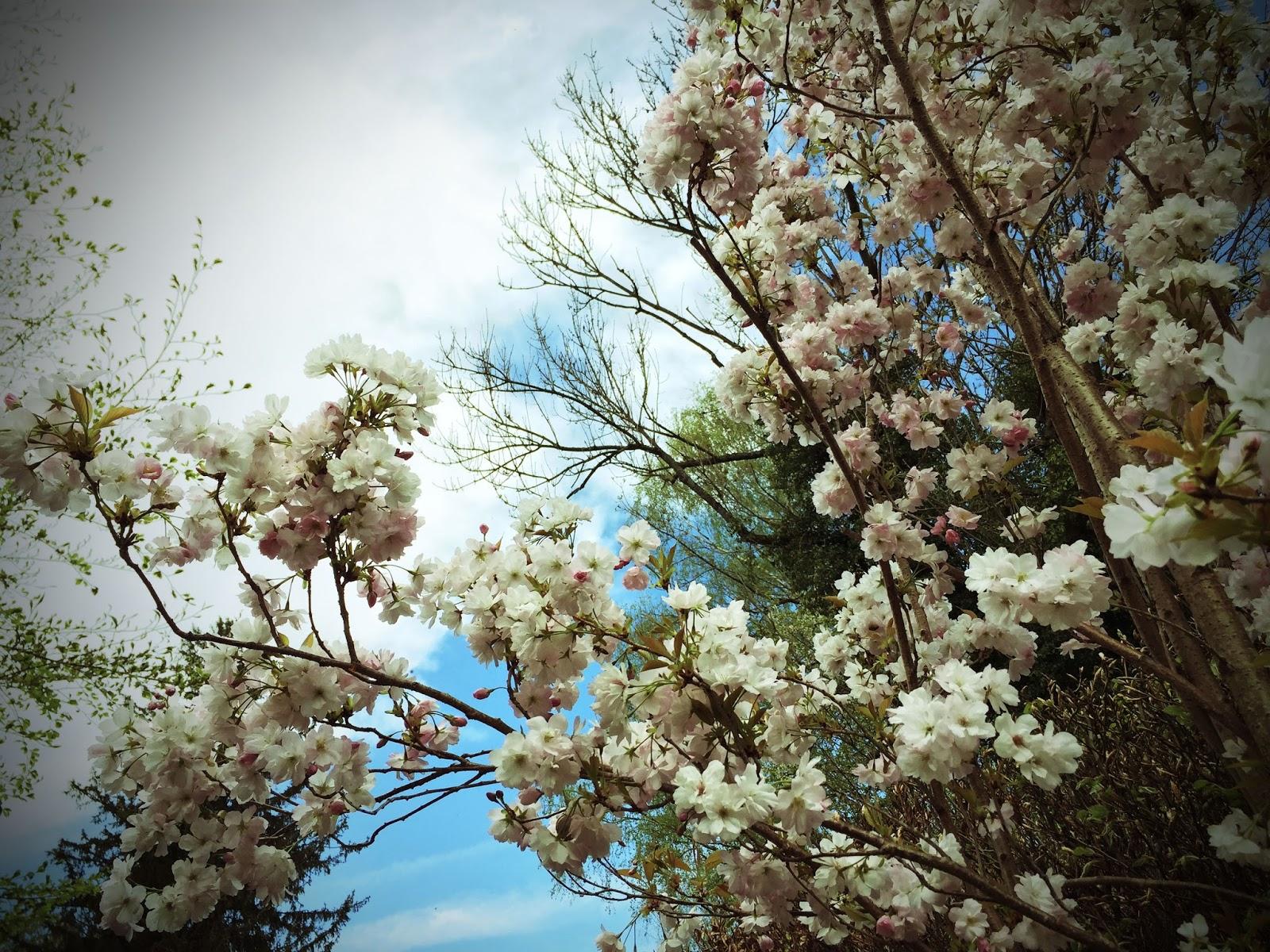 Kirschblüte am Ammersee