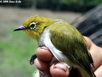 foto burung Pleci Sulawesi Zosterops Consobrinorum