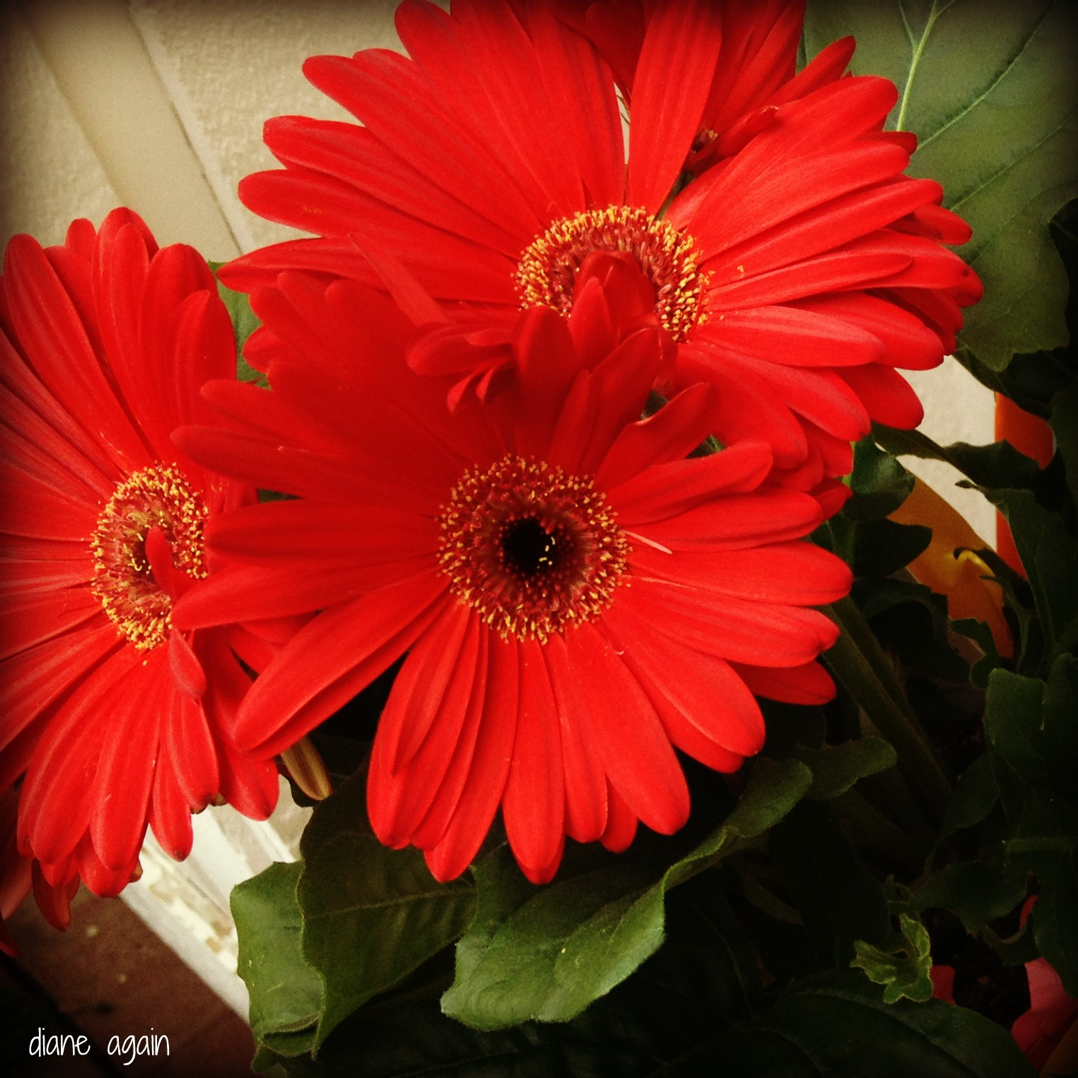 http://1.bp.blogspot.com/-7q73b21owrU/T87JBr4lm-I/AAAAAAAAFAo/4VcxUgSc62A/s1600/red+gerbera+daisy.jpg