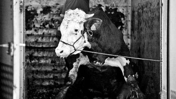 fabien nissels fotografia vacas porcos bois abatedouro matadouro carne comida