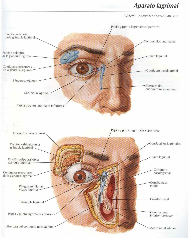 Atlas, Anatomía: aparato lagrimal - Salud, vida sana, la medicina ...