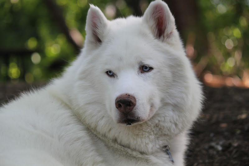 Dogs That Looks Like White Wolf