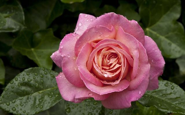 Flor Rosa Rosada con Gotas de Agua después de la LLuvia