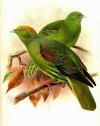 Taiwán green pigeon