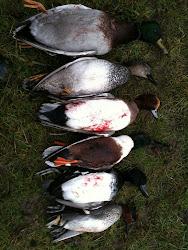 Drake Ducks