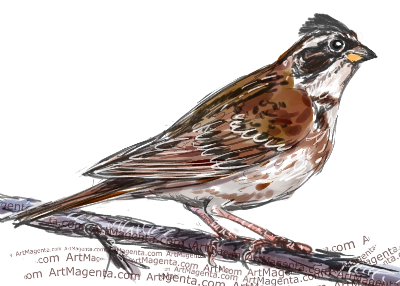 Rustic Bunting sketch painting. Bird art drawing by illustrator Artmagenta