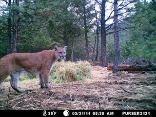 Mountain Lion C 470 Wolves, Wolf Facts, Co...