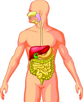 Organ- Organ Pencernaan Pada Manusia