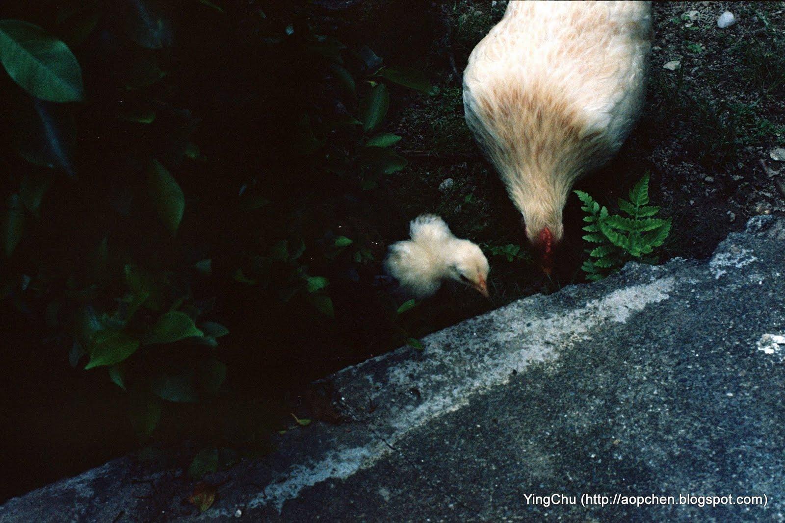 母雞帶小雞