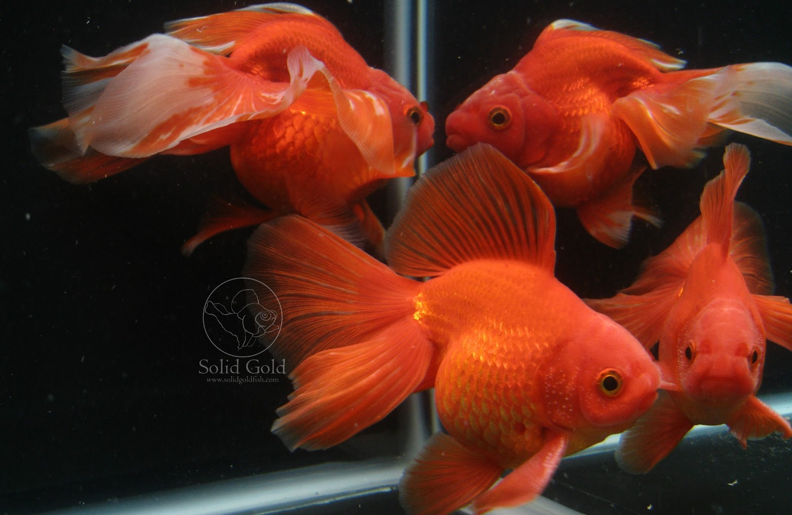callisto the unclassifiable goldfish solid gold aquatics