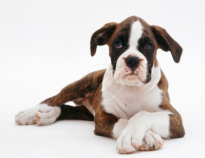 Brindle Boxer Dog pictures
