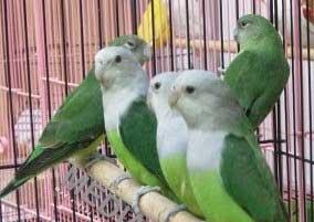 Lovebird Madagascar - Aneka Jenis Burung Lovebird
