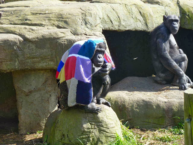 Funny animals of the week - 20 December 2013 (40 pics), chimpanzee covers his head with blanket