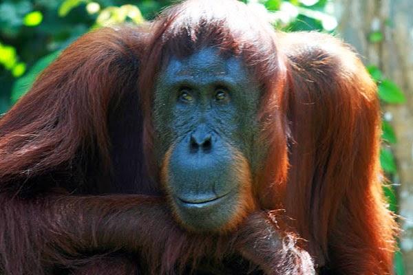 Orangutan M W