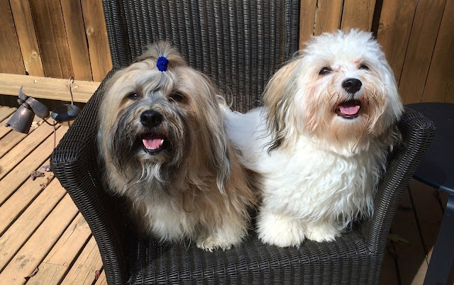 Rocco and Sophie Havanese