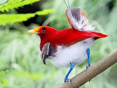 Paradise Birds Pictures