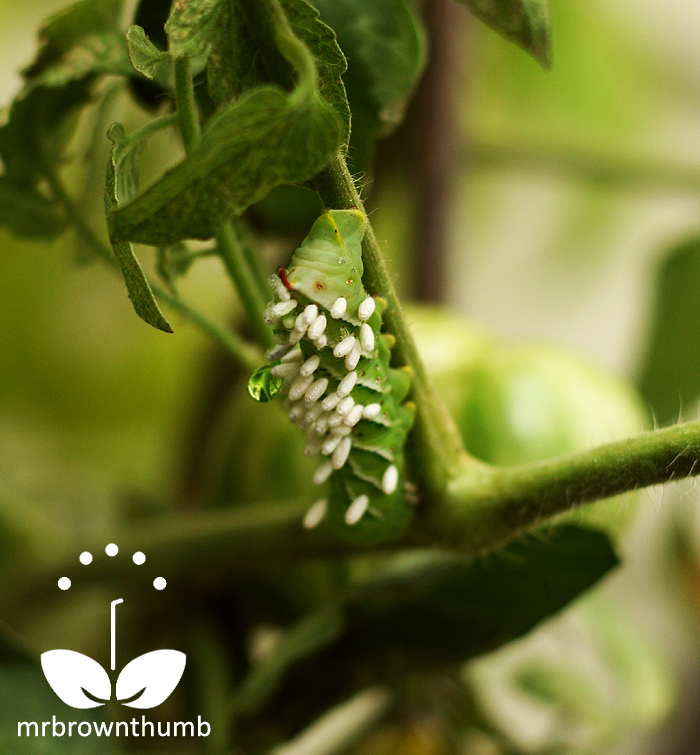 Parasitized tomato hornworm