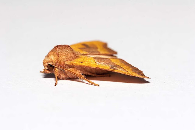Centre-barred Sallow side on