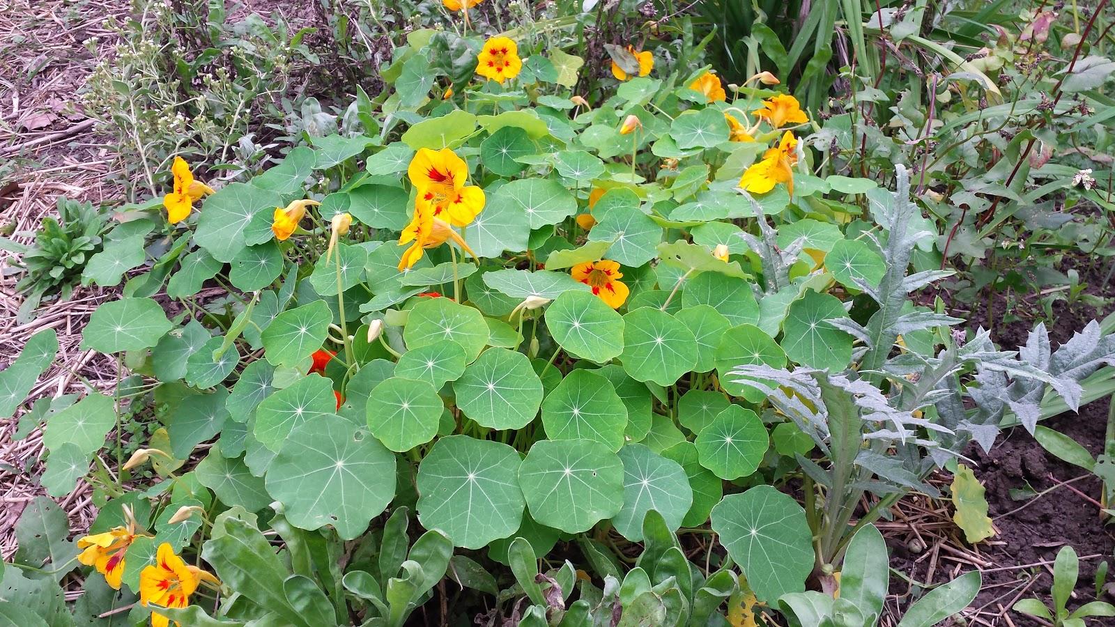 Mješovita sadnja povrća, cvijeća i lijekovitog bilja u organskom vrtu