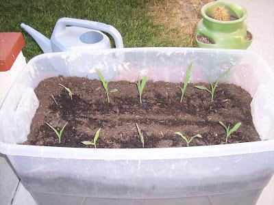 Corn starting in bin