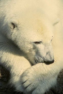 Marine Sea Creatures Through Marine Biology Polar Bear