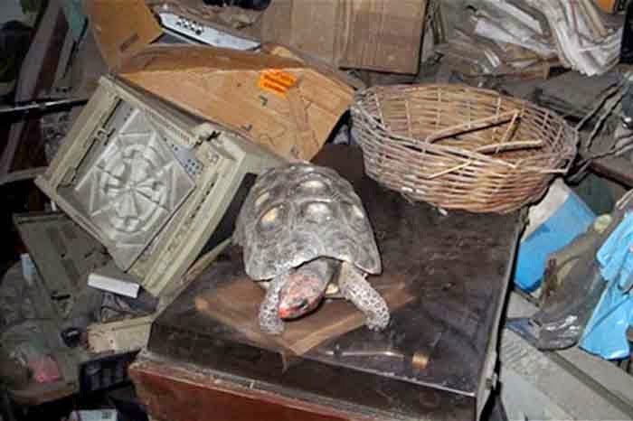 Missing Tortoise in a Room more than 30 Years