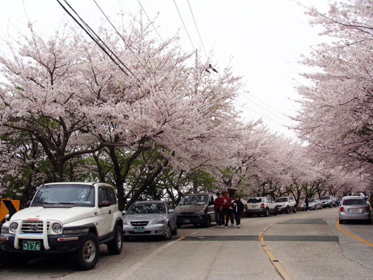 blossoms on the streets of Busan South Korea