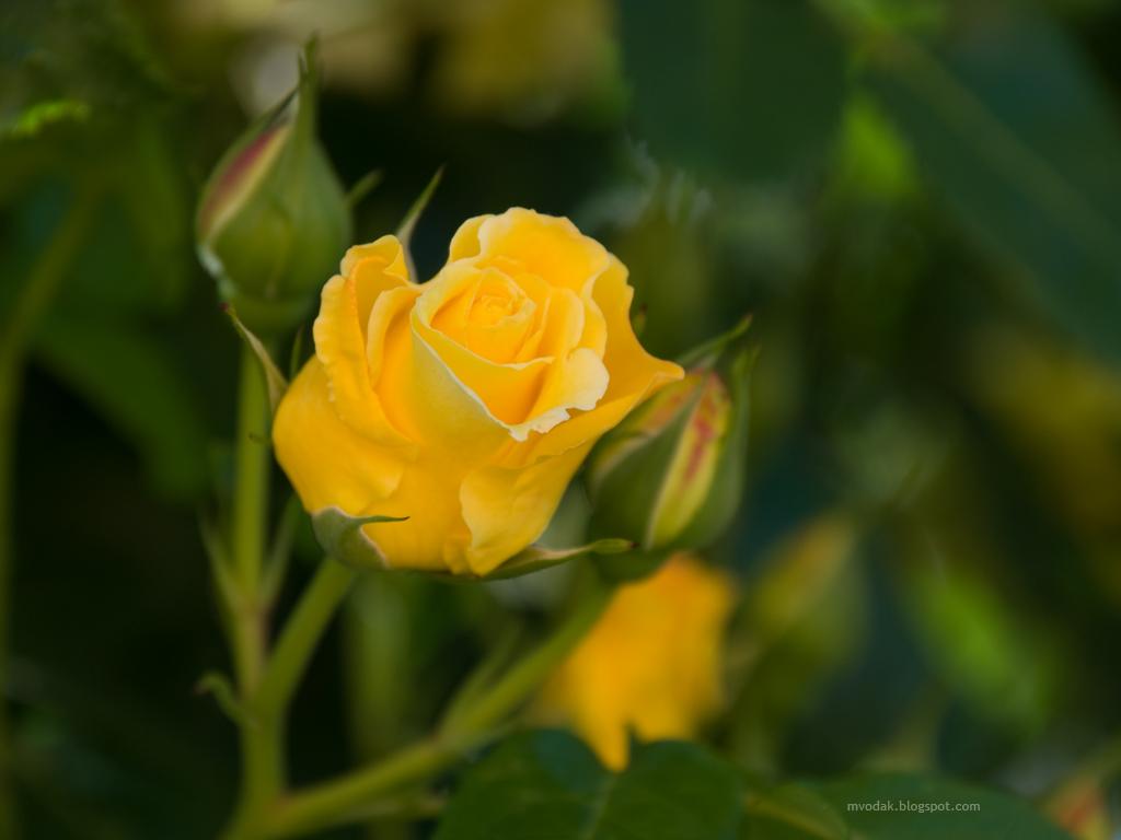 Wallpaper Gallery: Rose Flower Wallpaper  Yellow
