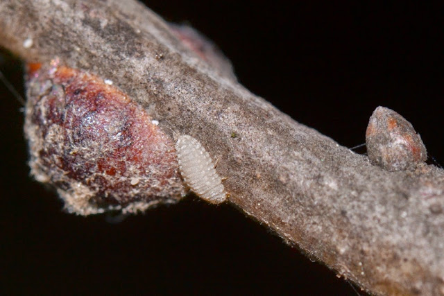 lady beetle larvae associated with scale insects
