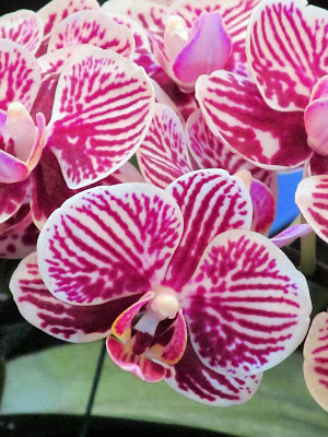 White and pink striped orchid
