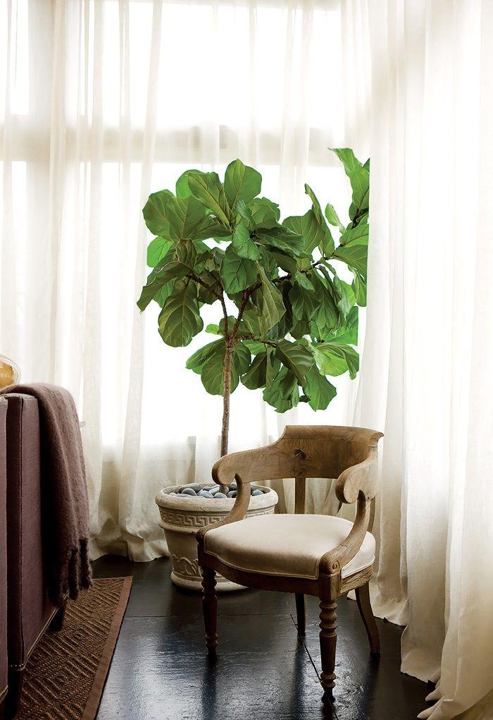 lamb blonde room love fiddle leaf fig tree. Black Bedroom Furniture Sets. Home Design Ideas