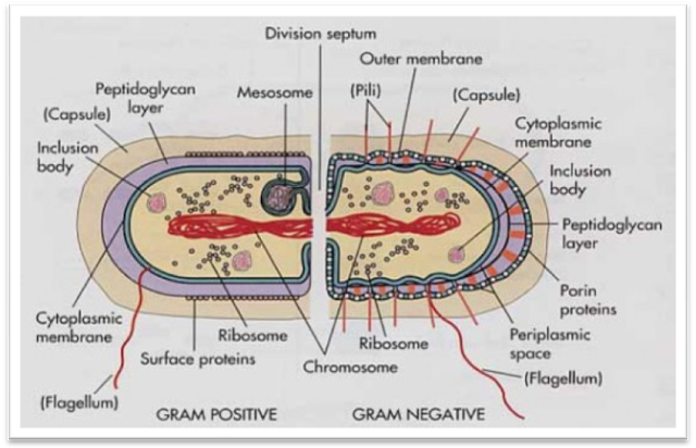 cell structures and the gram stain Since they are negatively charged, bind to positively charged cell structures ph plays an important role in the effectiveness of staining, because the nature and the degree of the charge on cell components change with ph gram staining.