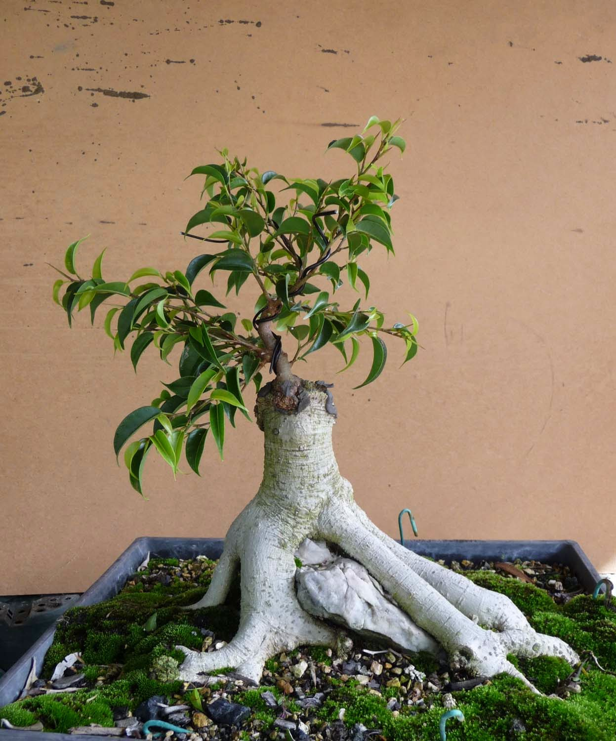 Bonsai Amp Pottery Post 149 Radical Correction Of Ficus