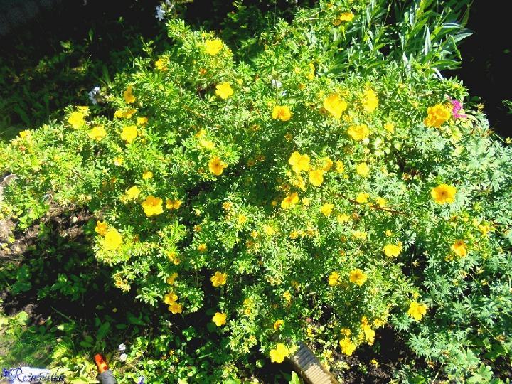 Декоративный кустарник с жёлтыми цветами