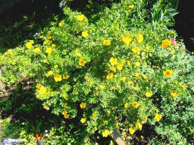 лапчатка с желтыми цветками