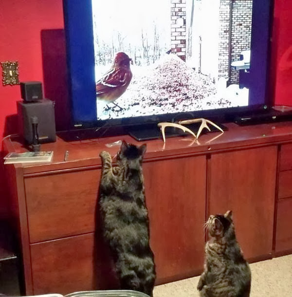 Funny cats - part 82 (40 pics + 10 gifs), cat photo, two cats watch bird on tv