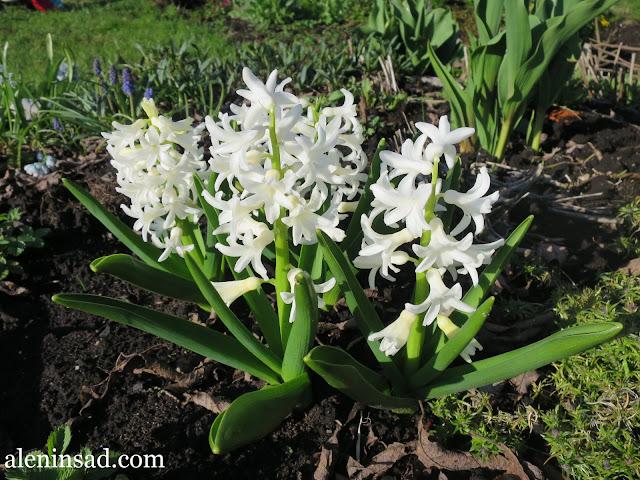 проростки гиацинта, посадка гиацинтов, осенняя, в открытый грунт, правила посадки, белые гиацинты, аленин сад