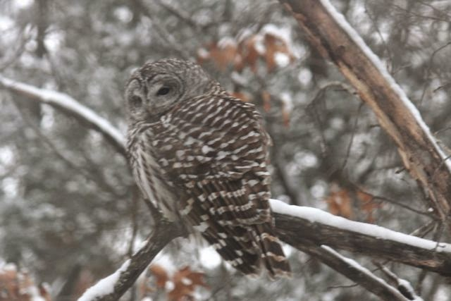barred owl in oak