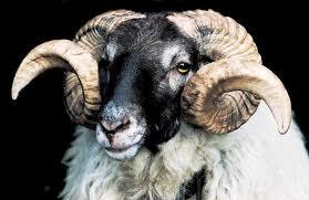 Resultado de imagen de la forma espiral en los cuernos del carnero