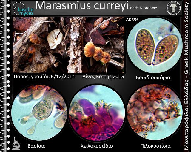 Marasmius curreyi Berk. & Broome