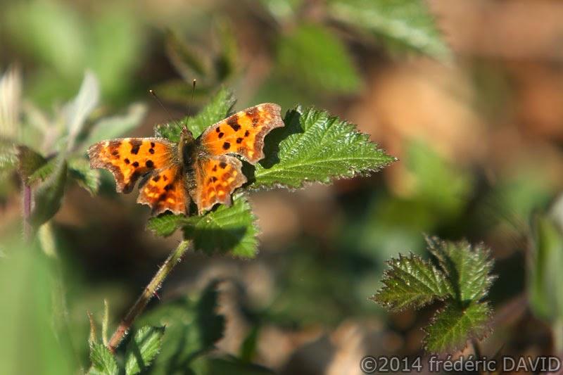 papillon robert-le-diable nature macro forêt rougeau Seine-et-Marne
