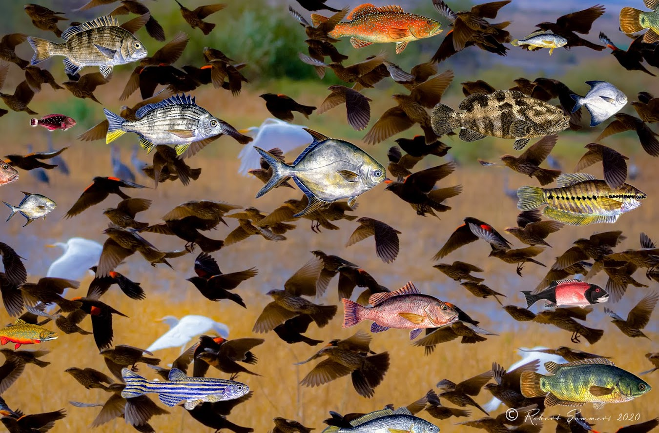 Red winged blackbirds and fish