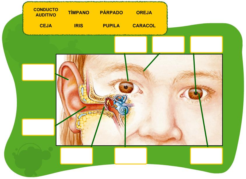 http://www.primerodecarlos.com/TERCERO_PRIMARIA/octubre/Unidad2/actividades/cono/ojo_oido/visor.swf