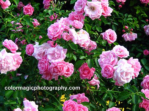 Bunch of pink roses on a climbing rose
