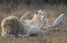 Zoo Animals - White Lions