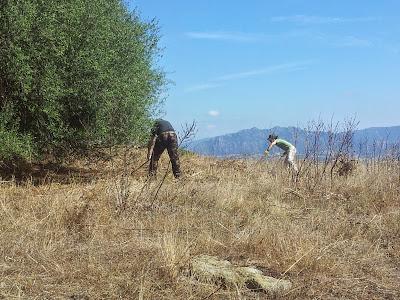 Fanbo e Fre al lavoro nella campagna di Monte Pedru, Perfugas, Sassari, Sardegna