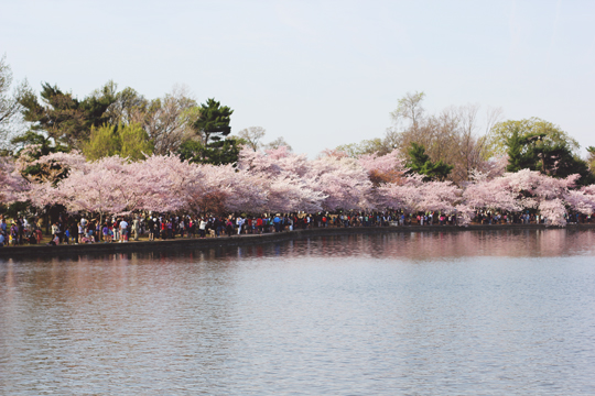 Cherry Blossoms around the Tidal Basin in Washington, DC
